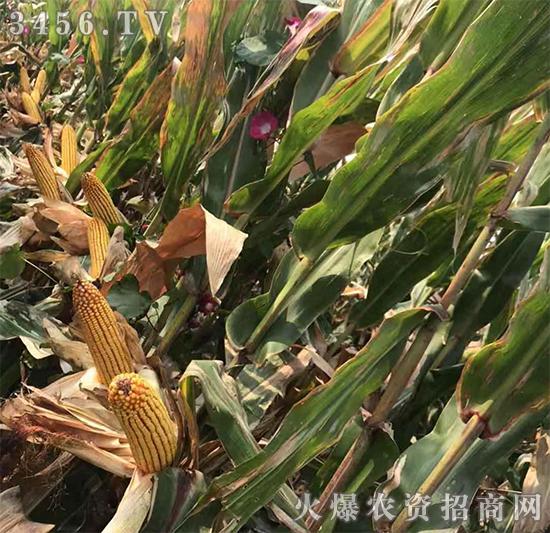 玉米要高产,选对品种很重要!教你玉米种子怎么挑?