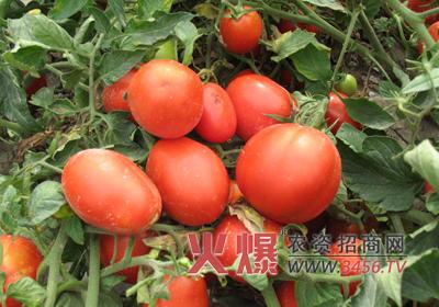 西红柿植物根部结构图