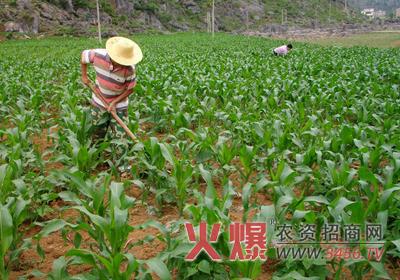 近期玉米追肥有妙招