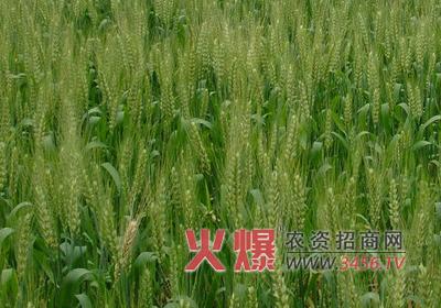 春天小麦怎么画
