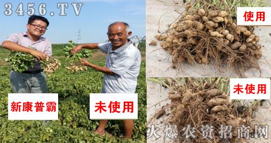 花生叶面肥施的好,花生能够增产丰收