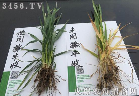 小麦专用药肥,撒丰收,一撒就丰收!