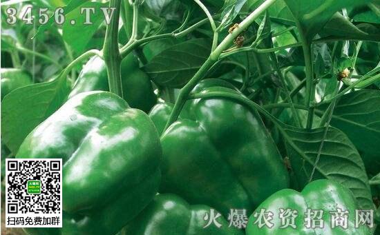 甜椒需肥特点是什么 甜椒如何施肥