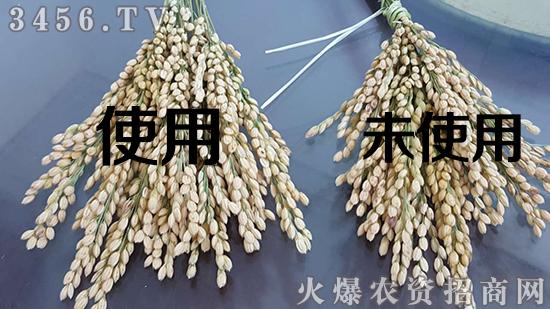 作物增产靠什么?芸粒丰,创造作物增产新奇迹!