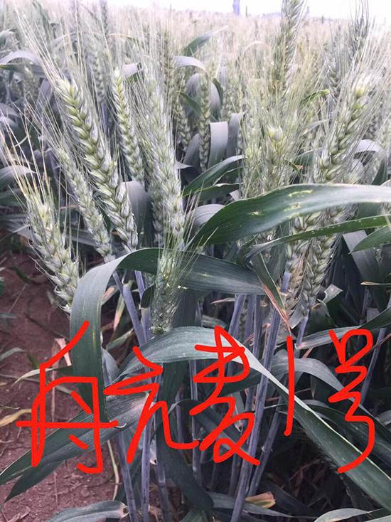 航麦1号-小麦种子-宇航
