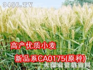 高产优质小麦新品系CA0175(原种)