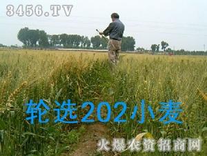轮选202小麦