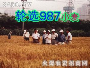 轮选987小麦