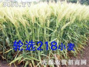 轮选218小麦