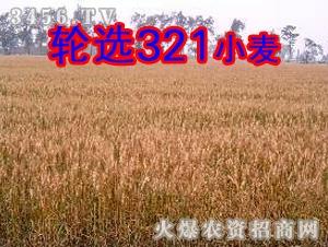轮选321小麦