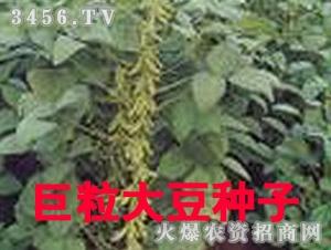 巨粒大豆种子