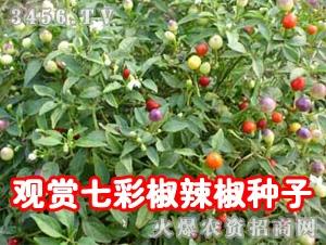观赏七彩椒辣椒种子