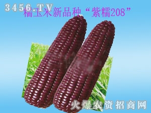 """奇山糯玉米新品种""""紫糯208"""""""