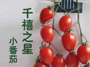 千禧之星-小番茄