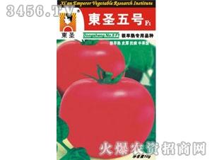 东圣五号——番茄种子