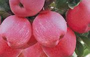 苹果白纹羽病