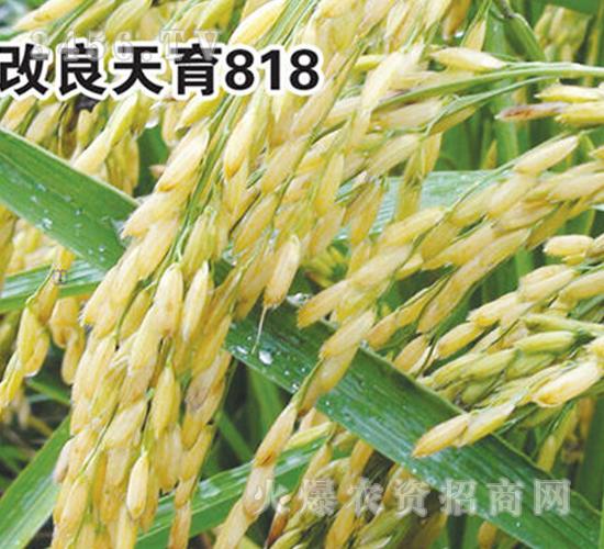 草莓app网站 海水稻今年要推广百万亩 全国种子都来