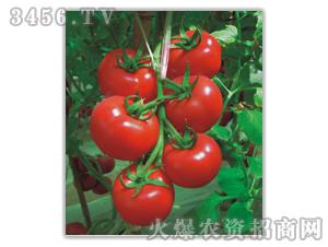卡妮诺F1(进口大红番茄)