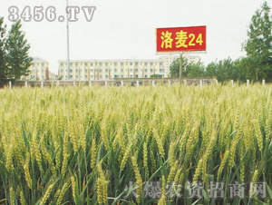 中垦-洛麦24
