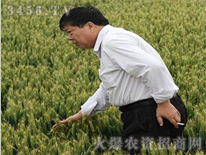 漯麦18小麦种子-恒冠