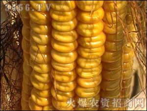 先玉335玉米种子-金农