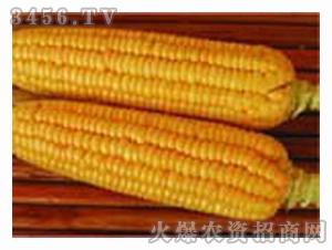 甜玉米种子-307-超甜双色玉米