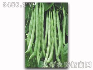 芸豆种子-改良623架芸豆