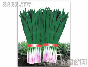 寿光独根红韭菜种子