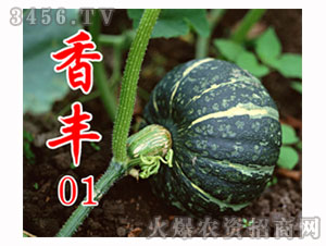 南瓜种子-香丰