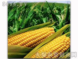 沈单16-玉米种子