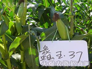 玉米种子-蠡玉37