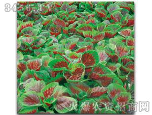 苋菜种子-花红圆叶苋菜601