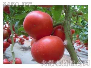 西红柿种子-粉多纳