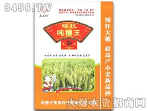 矮抗吨穗王小麦原种1