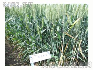 小麦种子-阳光818