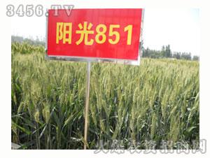 小麦种子-阳光851