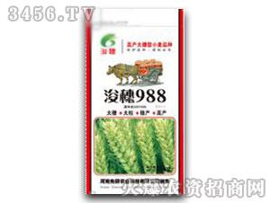 小麦种子-浚穗988