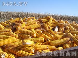 精选鲁单6006(玉米种子)-盈邦达