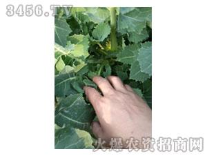 油菜新品种苗期02-金九昌