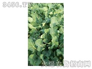 油菜新品种苗期03-金九昌
