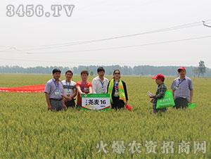 小麦种子观摩会2