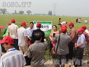 小麦种子观摩会3