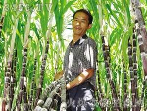 甘蔗种子脆蜜蔗1号-兴旺(图三)