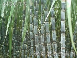 甘蔗种子脆蜜蔗1号-兴旺(图四)