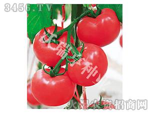 番茄种子-艾娜6号-沃瑞亨