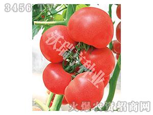 番茄种子-美味一生-沃瑞亨