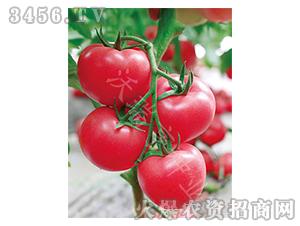 番茄种子-阿加莎708-沃瑞亨