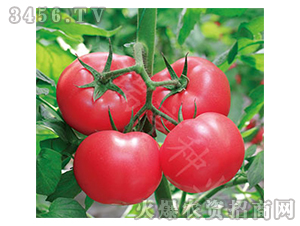 番茄种子-阿加莎718-沃瑞亨