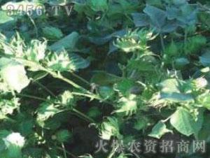 鲁杂棉37-棉花种子-冠王花