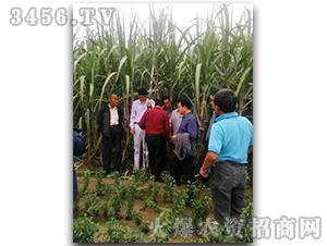 甘蔗种子脆蜜蔗1号-兴旺(图十)